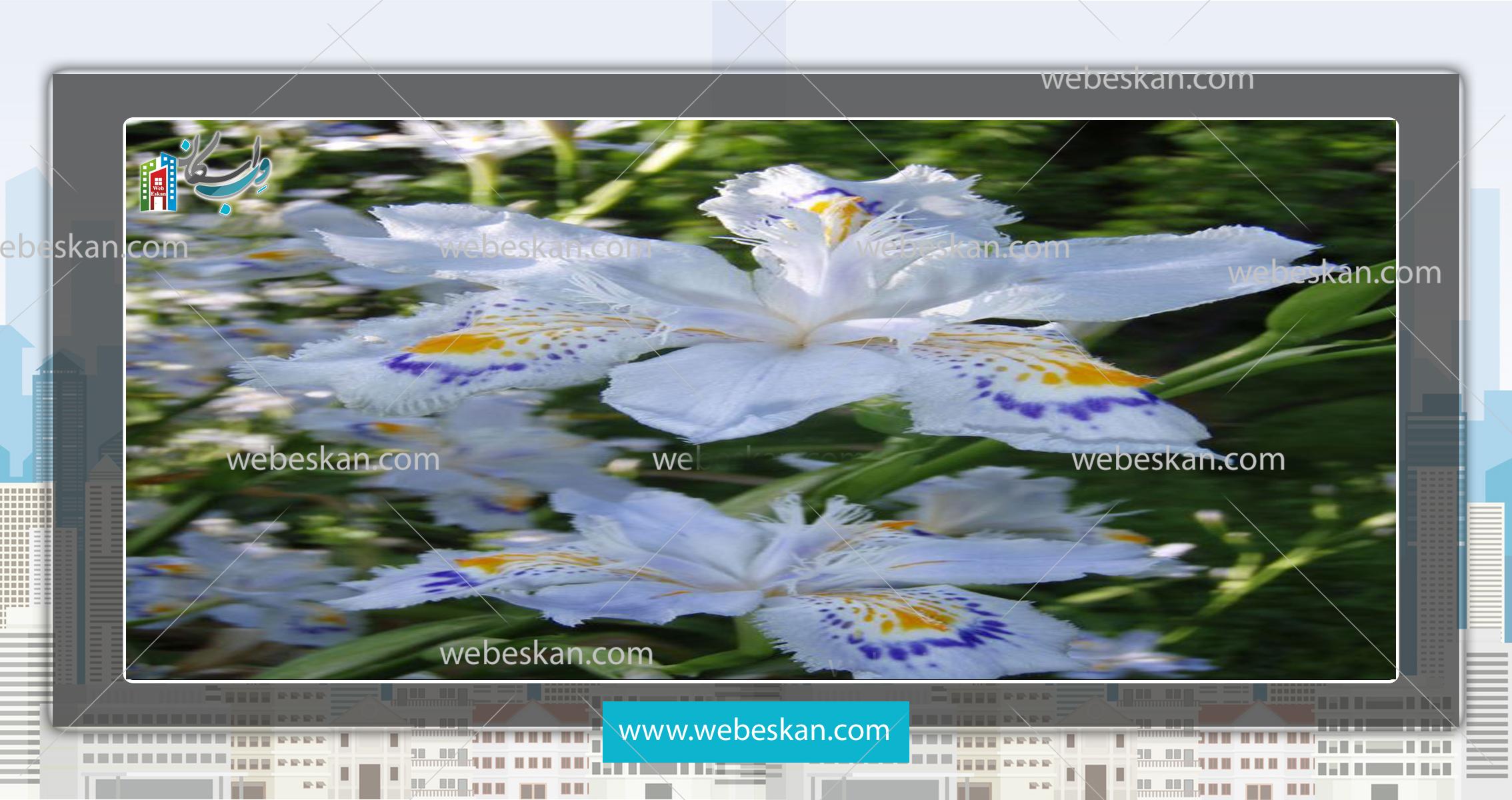 مشخصات گیاه زنبق ژاپنی